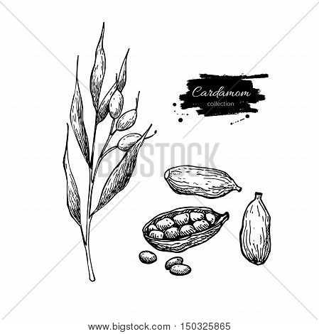 Cardamom vector hand drawn illustration set with plant and seeds. Isolated spice object. Engraved style seasoning. Detailed organic product sketch. Cooking flavor ingredient. Great for label, sign,
