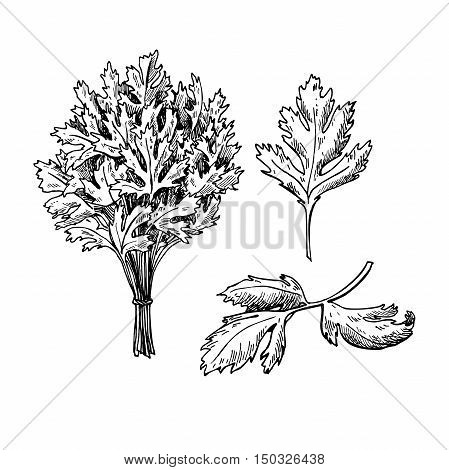 Parsley vector hand drawn illustration set. Isolated spice object. Engraved style seasoning. Detailed organic product sketch. Cooking flavor ingredient. Great for label, sign, icon