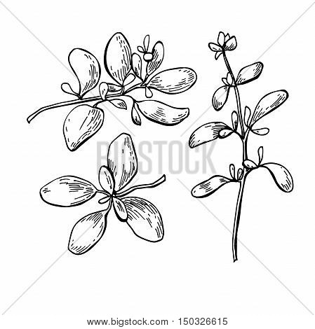 Marjoram vector hand drawn illustration set. Isolated spice object. Engraved style seasoning. Detailed organic product sketch. Cooking flavor ingredient. Great for label, sign, icon