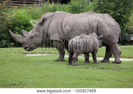 Southern white rhinoceros (Ceratotherium simum simum). Female rhino feeding its newborn baby. Wildlife animal.