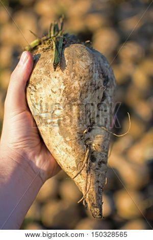 Sugar Beet In The Hand With Pile In The Background. Freshly Picked Organic Sugar Beet.
