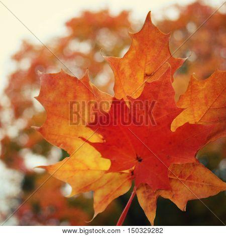 Maple Tree Leaves. Acer. Autumn On Valaam Island.