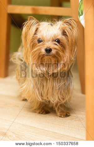 Adult Yorkshire Terrier named Yosya with protruding ears