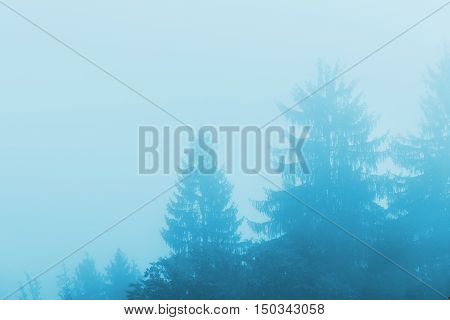Pine tree forest in fog monochromatic cold winter morning scenery