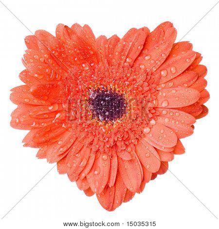 Heart from red daisy-gerbera with water drops isolated on white