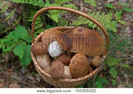 Fresh Porcini Mushrooms (Boletus edulis) in a basket. Season scene in forest.