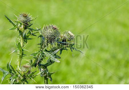Closeup of the buds of a Scotch Thistle or Onopordum acanthium plant against its blurred natural habitat on a sunny day in the summer season.