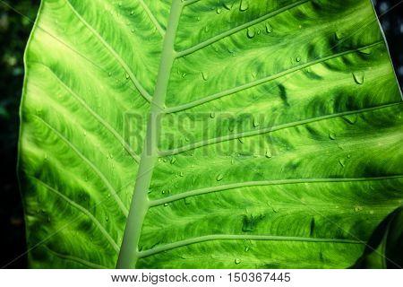 Rain drops on the green Alocasia Tree leaf. Wet season in tropical rainforest