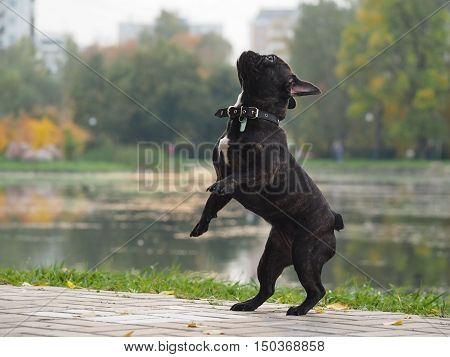 Funny dog stands on its hind legs. Park autumn