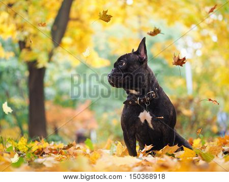 Dog sitting under falling autumn leaves in the park