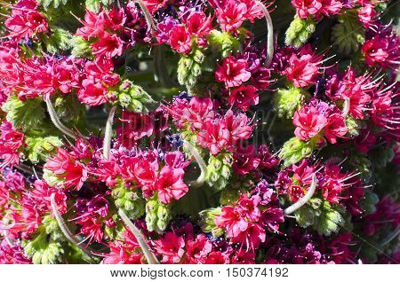Close up of beautiful flower Tajinaste (Echium wildpretii) in Teide Tenerife Spain.