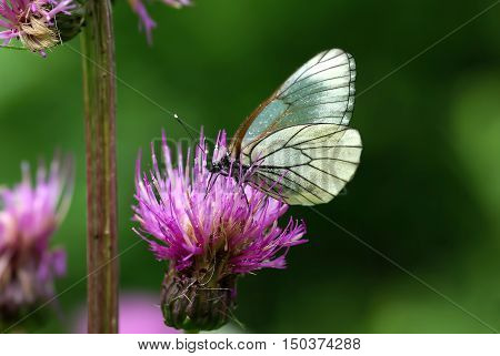 Black-veined White butterfly (Aporia crataegi) on the pink flower