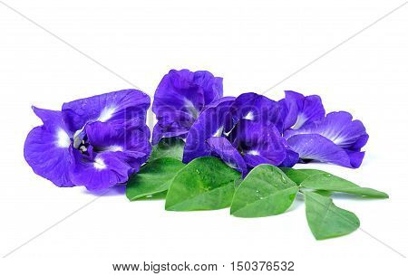 Blue Pea Butterfly Pea Close Up On Background