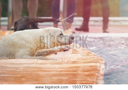 young labrador retriever dog is playing in a pool