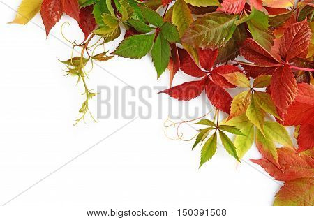 Colorful Autumn Leaves Of Virginia Creeper