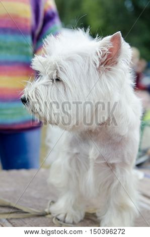Beautiful healthy dog West Highland White Terrier is preparing for the exhibition sitting near the host.