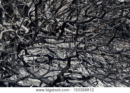 Charcoaled branches on a burnt plant caused from a wildfire