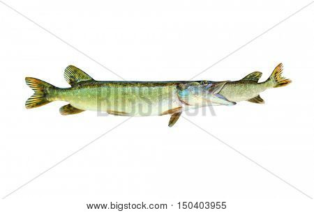 Bigger Pike eating smaller a Pike. Fish catching fish. Competition concept. Northern Pike (Esox Lucius) on white background.