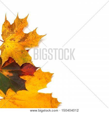 Autumn Multicolor Maple-leafs