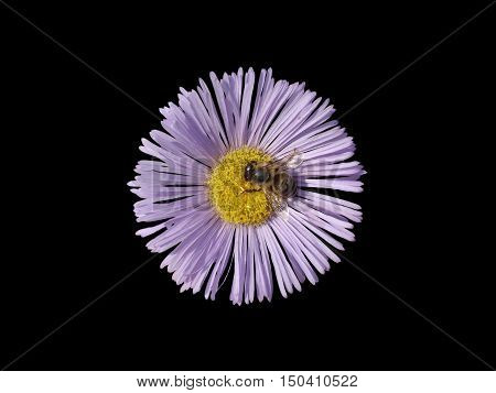 Erigeron (seaside daisy) purple with yellow center flower with bee isolated on black.