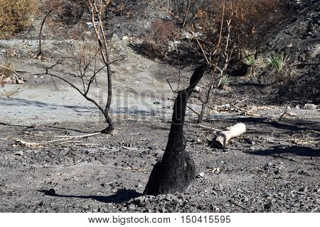 Charcoaled landscape with a burnt field and trees caused from a wildfire taken in Cajon, CA