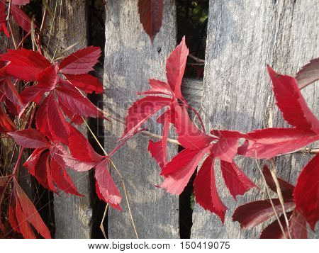 Red leaves of Virginia creeper on the fence