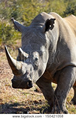 Picture of a white rhino in Madikwe game reserve,South Africa,Africa.