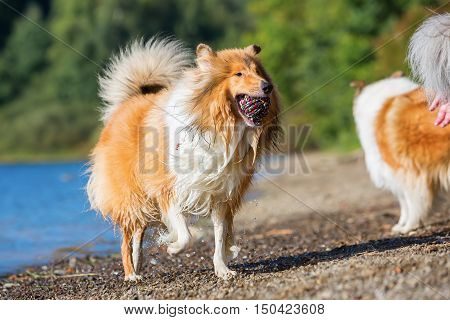 Collie Dog At The Lake