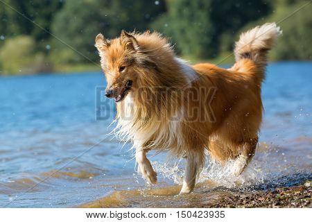 Collie Dog Runs At A Lake