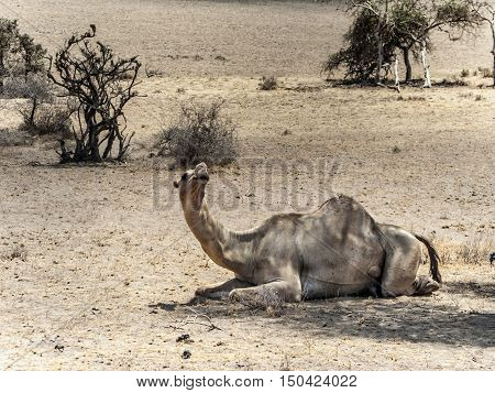 Camels Have A Rest Under A Tree In The Ngorongoro National Park