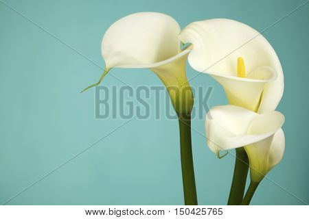 Calla Lily Flowers on a teal background with copy Space
