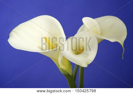 Three Calla Lily Flowers Shot on a Purple Background in the Studio