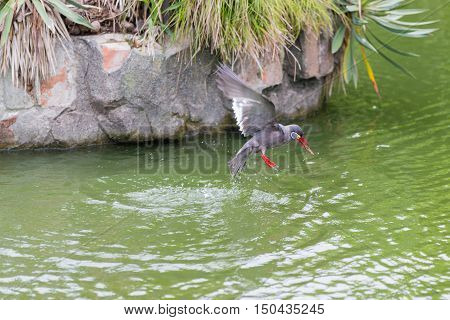 Inca Tern (larosterna Inca) Spotted Outdoors Flying On Pond.