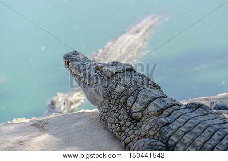 Nile Crocodile Farm