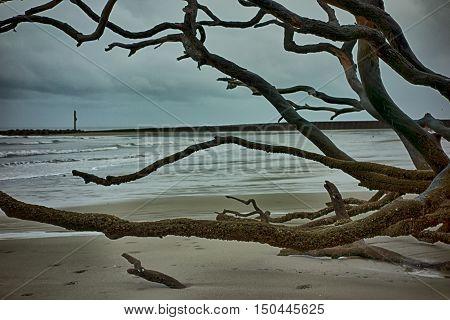 Driftwood On Hunting Island South Carolina