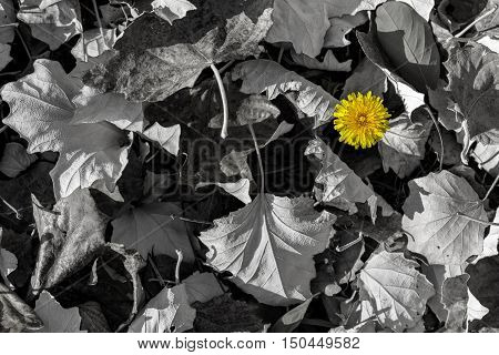 Yellow dandelion isolated on black and white background
