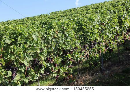 Vineyard with red Grapes in Baden-Wurttemberg. Germany