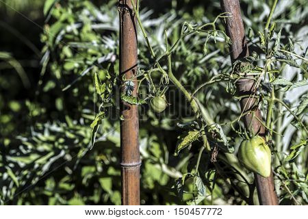 big unripe green tomatoes outdoor macro closeup
