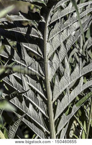big artichoke green leaf outdoor macro closeup