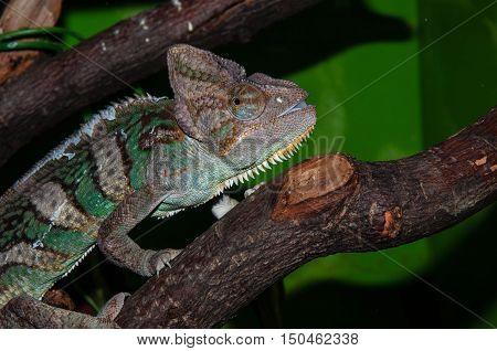 Chameleons Yemeni Or Chamaeleo Calyptratus