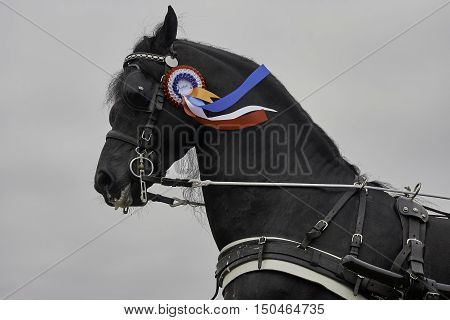 WORKUM, THE NETHERLANDS - SEPTEMBER 28, 2016: Frisian horse purebred carriage stallion Eise 489, with driving harness and wearing a rosette for winning a prize against a grey sky.