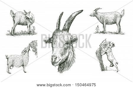sketches of goat drawn by hand on a white background. livestock. animal grazing