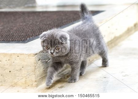 Little british shorthair kitten walking, close up photo