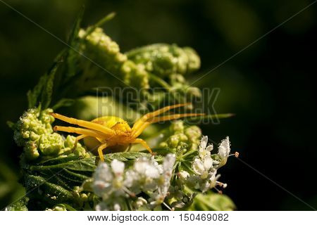 Yellow Spider On The Flower
