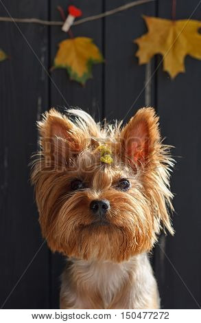 Yorkshire terrier near the black fence with autumn yellow leaves in the background