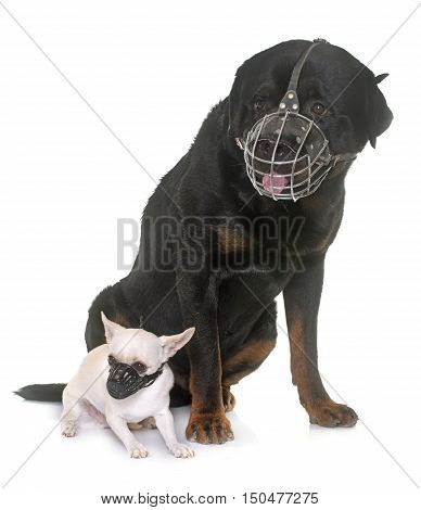 rottweiler chihuahua and muzzles in front of white background