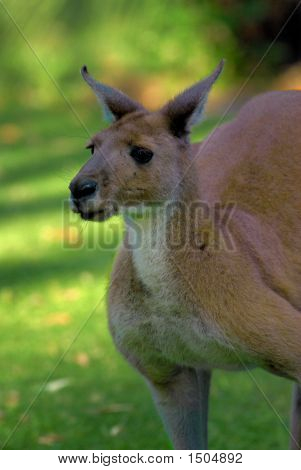 Red Kangaroo Close P