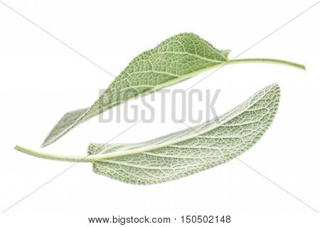 Aromatic plants Sage leaves isolated on white