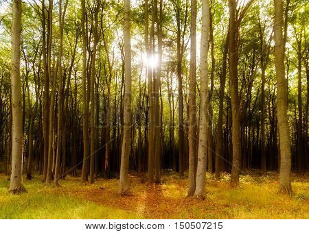 beech forest with long trunks in the warm light of the low standing sun autumn or spring background selected soft focus