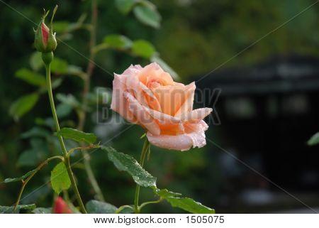 Rose Schoolgirl